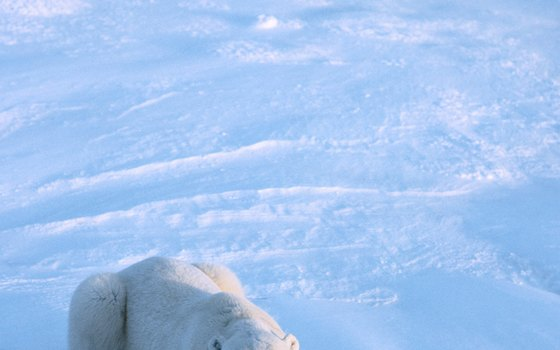 Polar bears are seasonally plentiful in the vicinity of Churchill, Manitoba.