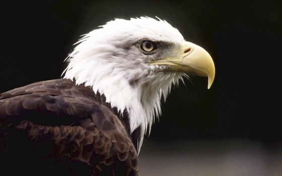 The American Bald eagle makes its home in the rainforests in Alaska.