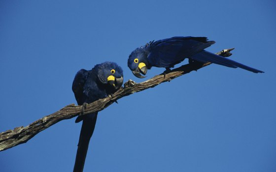 Hyacinth macaws, the world's heftiest parrots, find refuge in the Pantanal.