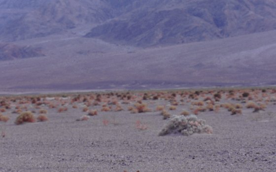 Behind this coyote, alluvial fans flank the mountains rimming Death Valley.