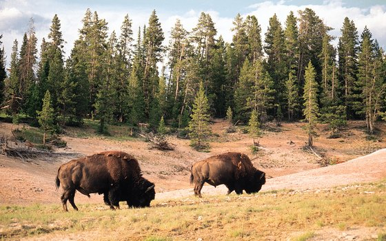 When driving, be on the lookout for bison, deer, elk and other wildlife.