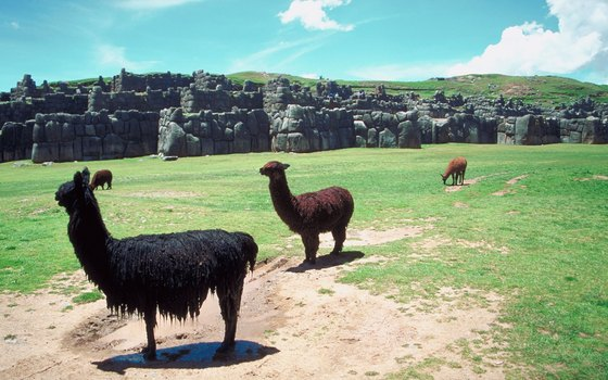 Look out for llamas who still call Inca's ancient sites home.