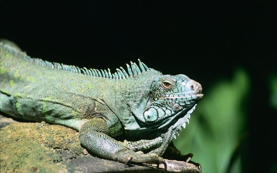 Iguana sightings are commonplace in Cahuita national park.