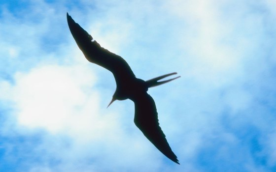 Magnificent frigatebirds are spotted seasonally in Galveston Bay.