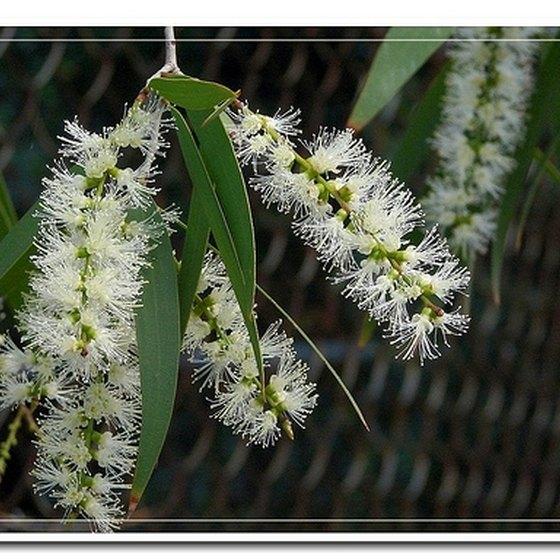 Use Tea Tree Oil for Health Benefits