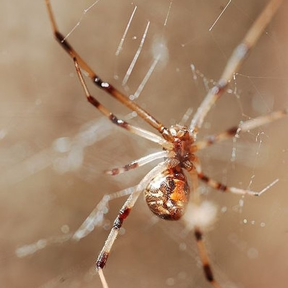 Brown Widow Spider Bite Symptoms