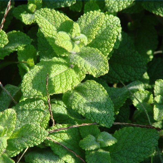 Peppermint oil is a popular natural remedy