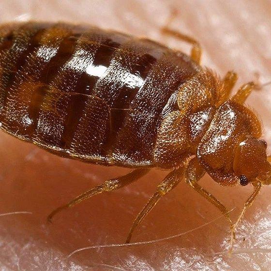 How Do Bedbugs Travel?
