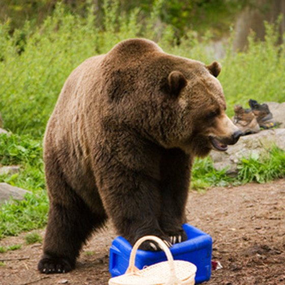 Grizzly bears can easily tear open a food container.
