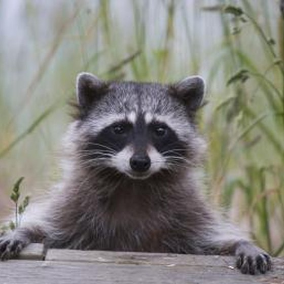 Raccoons infected with rabies may exhibit symptoms of the disease in behavioral changes.