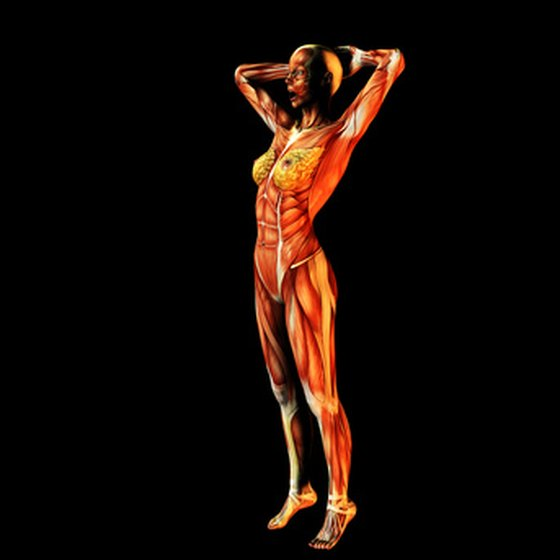 The optimal functioning of your muscles depends on several organs.