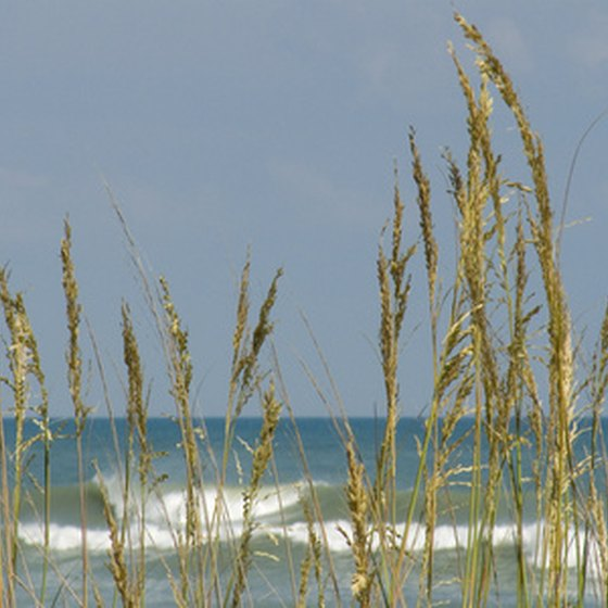 Sea oats grow by the ocean on the Outer Banks.