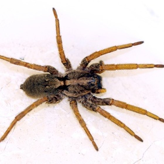 The brown recluse spider has a dangerous bite.