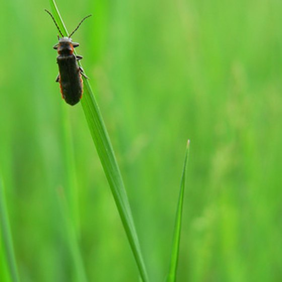 In general, male fireflies flash while flying, but females flash while resting on grasses or plants.