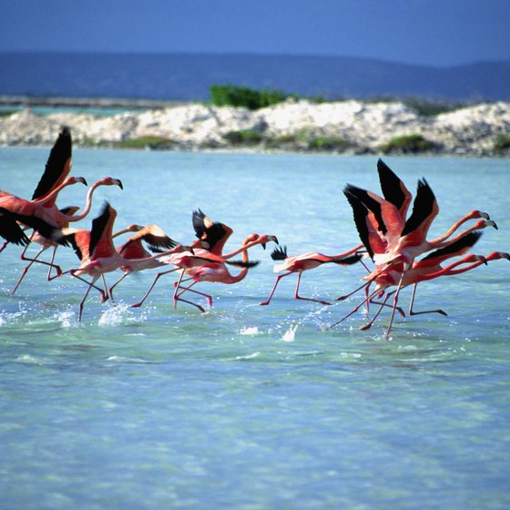 Bonaire is home to large numbers of flamingos.