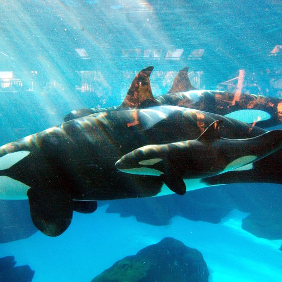 The orca whales are a major draw to SeaWorld Orlando.