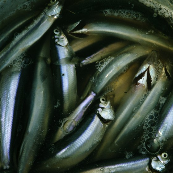 Herring and other fatty fish are goods sources of fish oil.