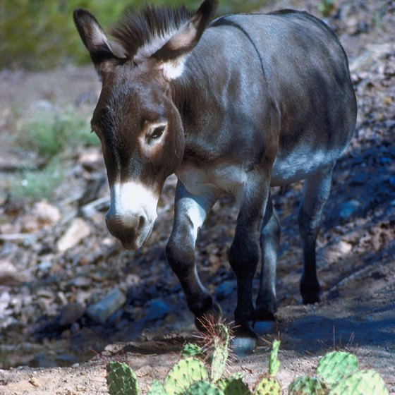 You may see a wild burro near your camp at Lake Alamo.
