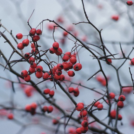 Hawthorn may help lower cholesterol levels.