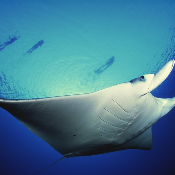 Giant manta rays are a common sight for snorkelers at Nusa Lembongan island.
