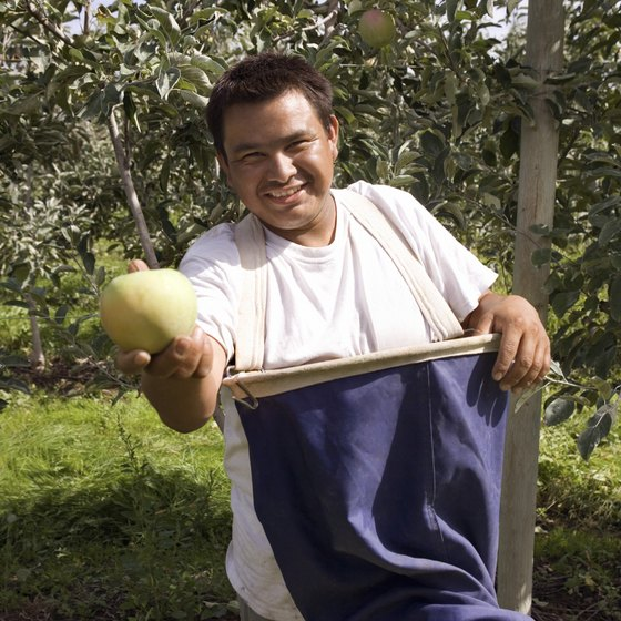 Farm workers pick fruit faster when paid on a piece rate basis.