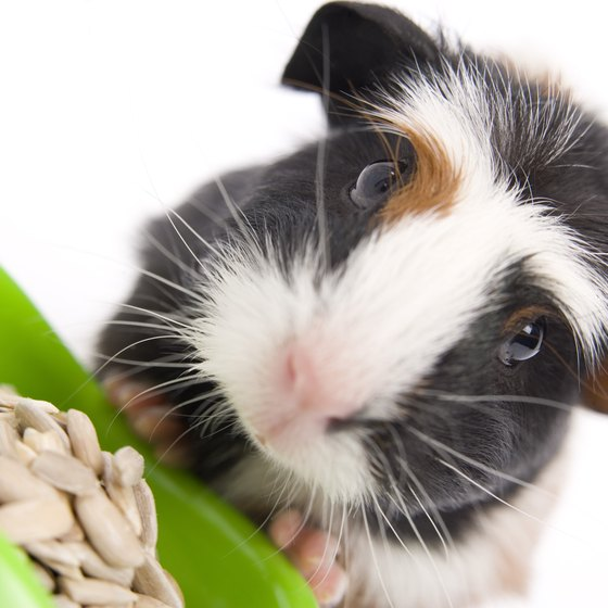Make sure to bring food for your guinea pig to graze on during the flight.