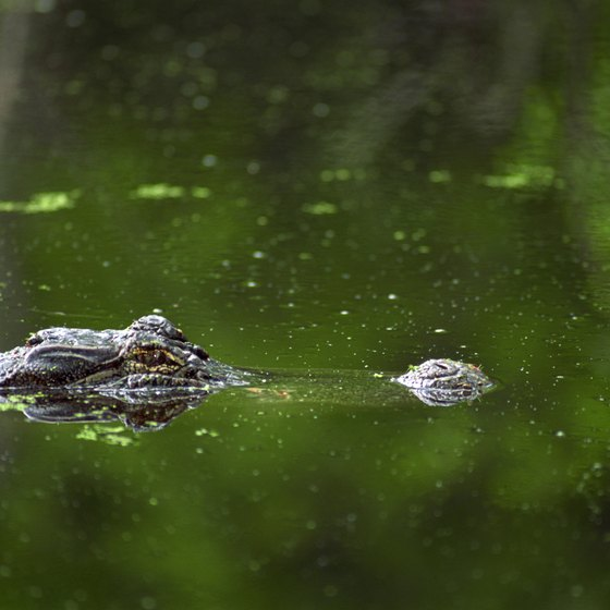 Alligators live in bodies of water throughout Florida.