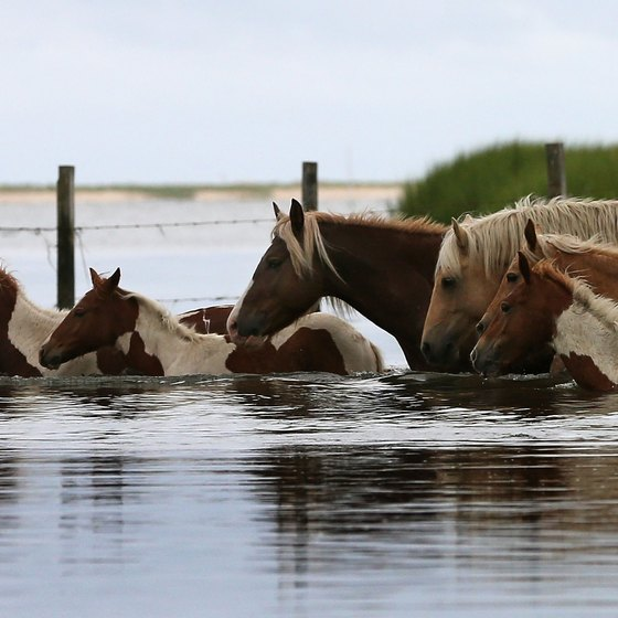 Assateague Island is known for its wild pony population.