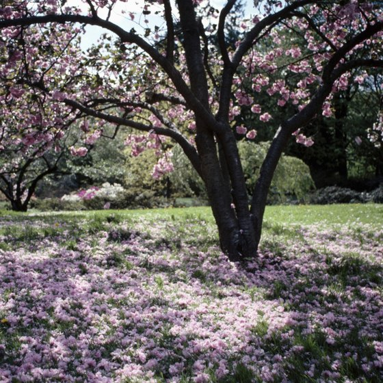 Blooming cherry blossoms are one of the main attractions at the Portland Japanese Garden.