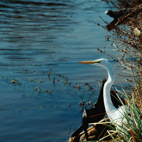 See herons and other waterbirds while camping along the Peace River.