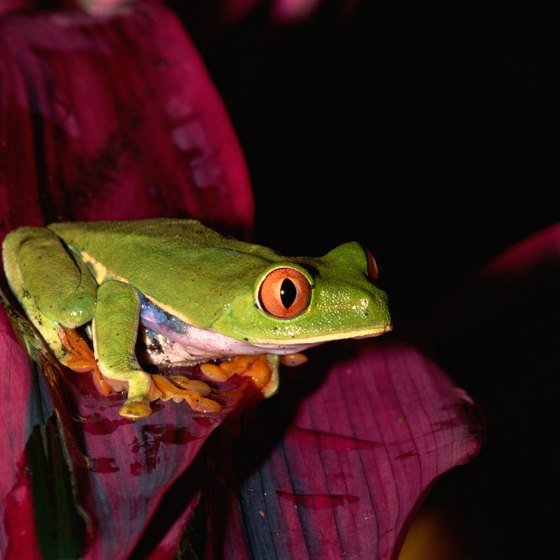 Mexico is home to more than 2,000 species of amphibians, including red-eyed tree frogs.