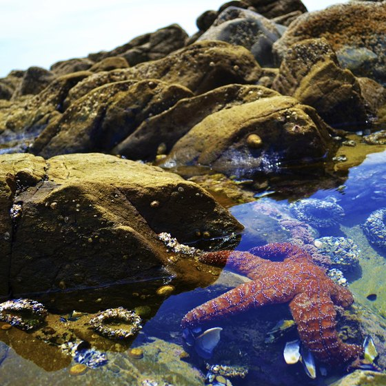 Red starfish are sometimes found in rocky pools when the tide goes out.