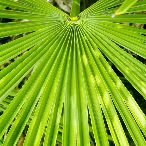 Saw Palmetto plant.