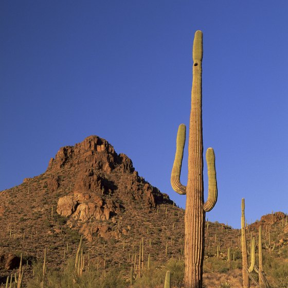 Tree-sized cacti known as saguaros populate many Tucson campgrounds.
