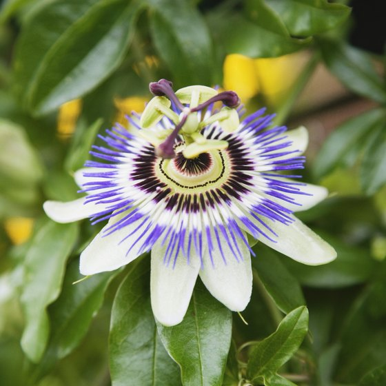 Consuming passionflower may relieve your anxiety and help you sleep.