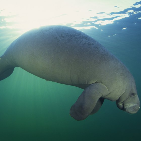 Clearwater, Florida, is close to manatee habitat.
