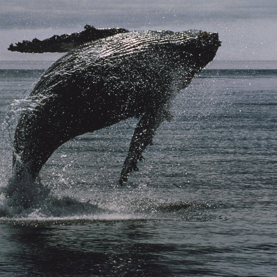 Spot humpback whales on an Anacortes whale-watching tour.