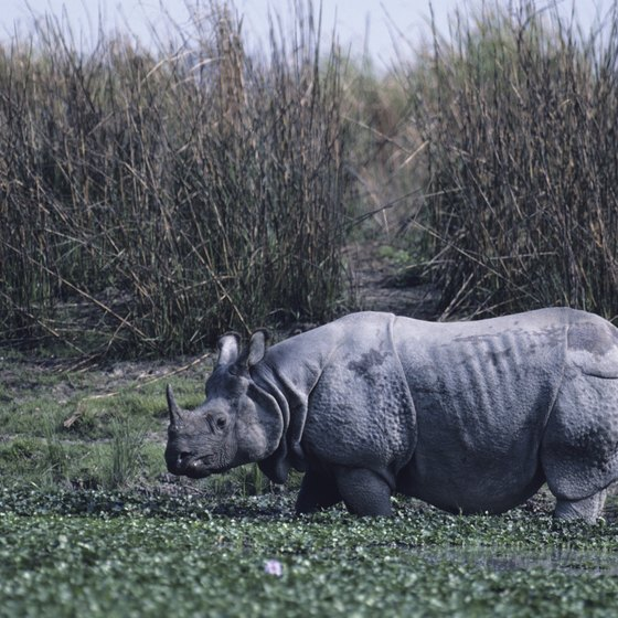 White one-horn rhinos thrive in Assam's national parks.