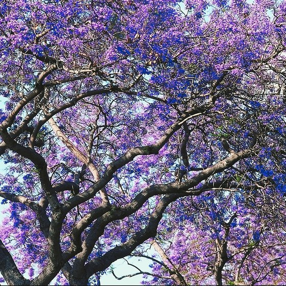 Photograph blooming jacaranda trees in March in San Miguel de Allende.