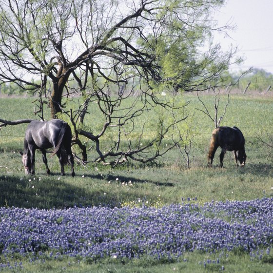 Use Ennis as your starting point for the Bluebonnet Trail in April.