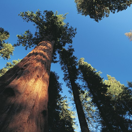 Giant sequoia trees greet you as you drive down scenic roads.