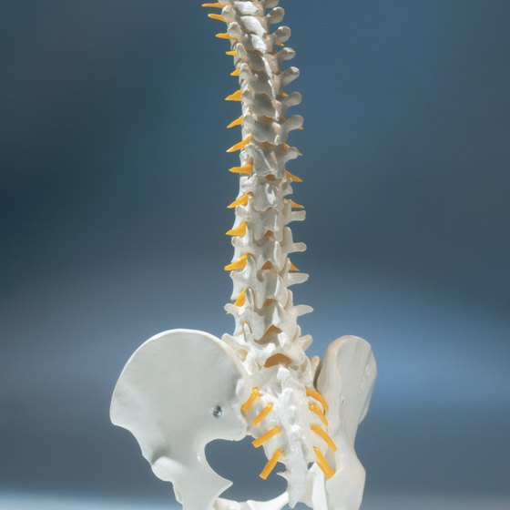 A model of the spine shows the natural S-shaped curvature.