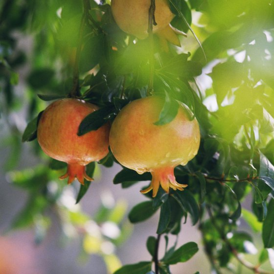 Pomegranates in tree