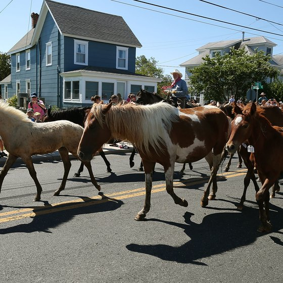 Assateague's wild ponies are rounded up in an annual fundraiser.