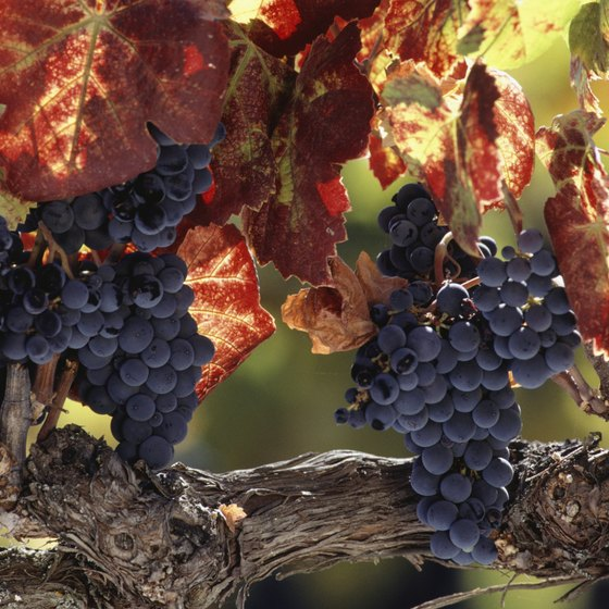 Taste a velvety grape or two as you ramble around Hunter Valley.