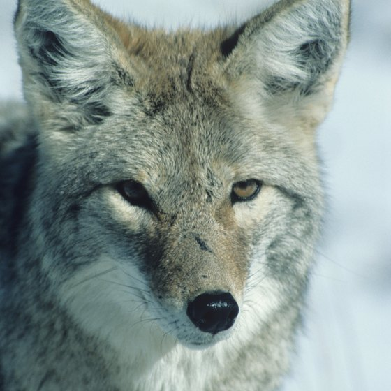 Coyotes thrive in Roman Nose State Park.
