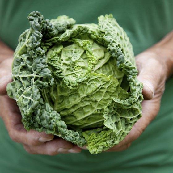 Gardener holding cabbage