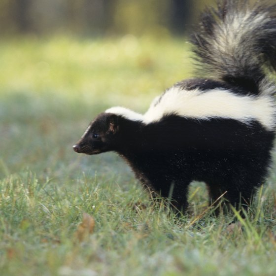 Skunks are best known for their odor-spraying defense mechanisms.