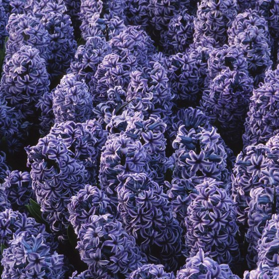 The Lilac Festival displays more than 1,000 varieties of trees and bushes.