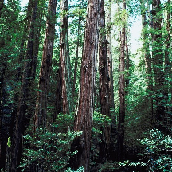 Coastal redwoods at Muir Woods National Monument grow up to 37 stories tall.